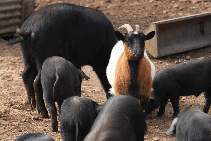 Elevage d'agneaux, volailles, et porcs à la ferme auberge Les Chenes