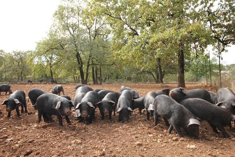 Elevage de porcs noirs Gascon à Larroque dans le Tarn