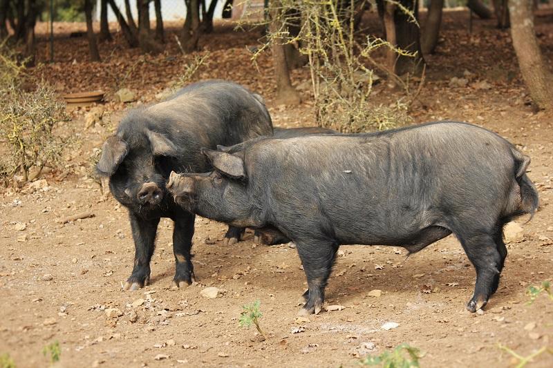 Elevage de porcs noirs Gascon ferme-auberge Les Chênes