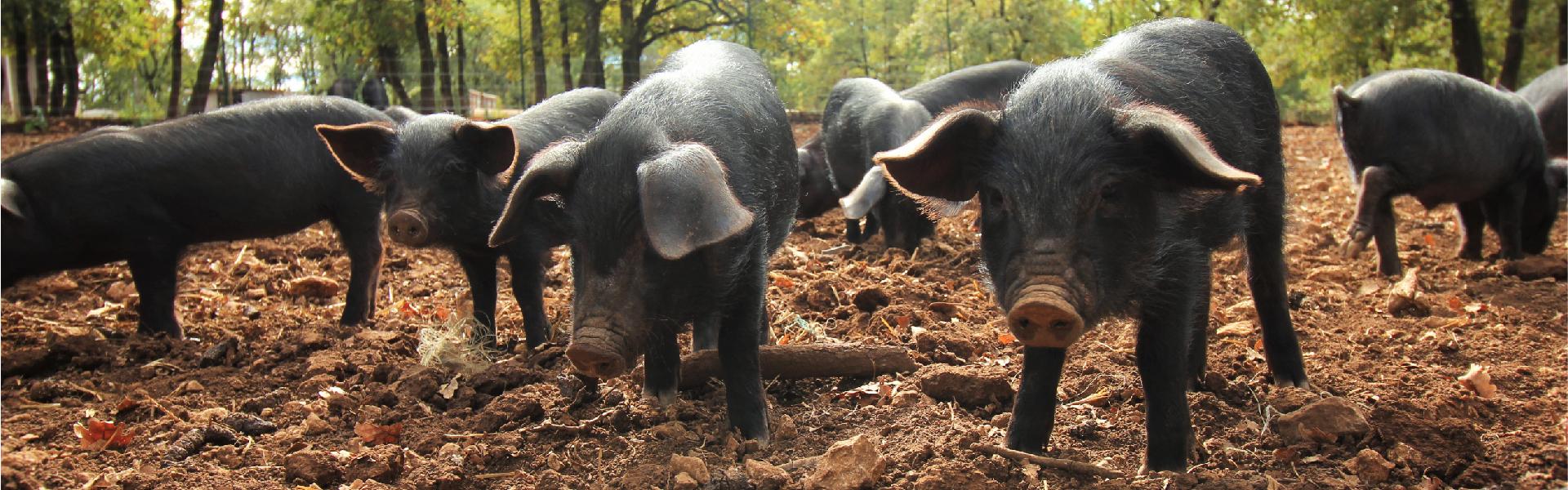 Elevage de porcs noirs à la ferme auberge Les Chênes