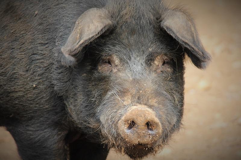 porc noir Gascon ferme-auberge Les Chênes
